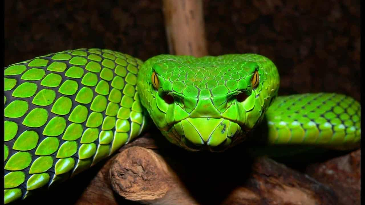 Víbora – Quais os perigos de ser picado por essa serpente venenosa?
