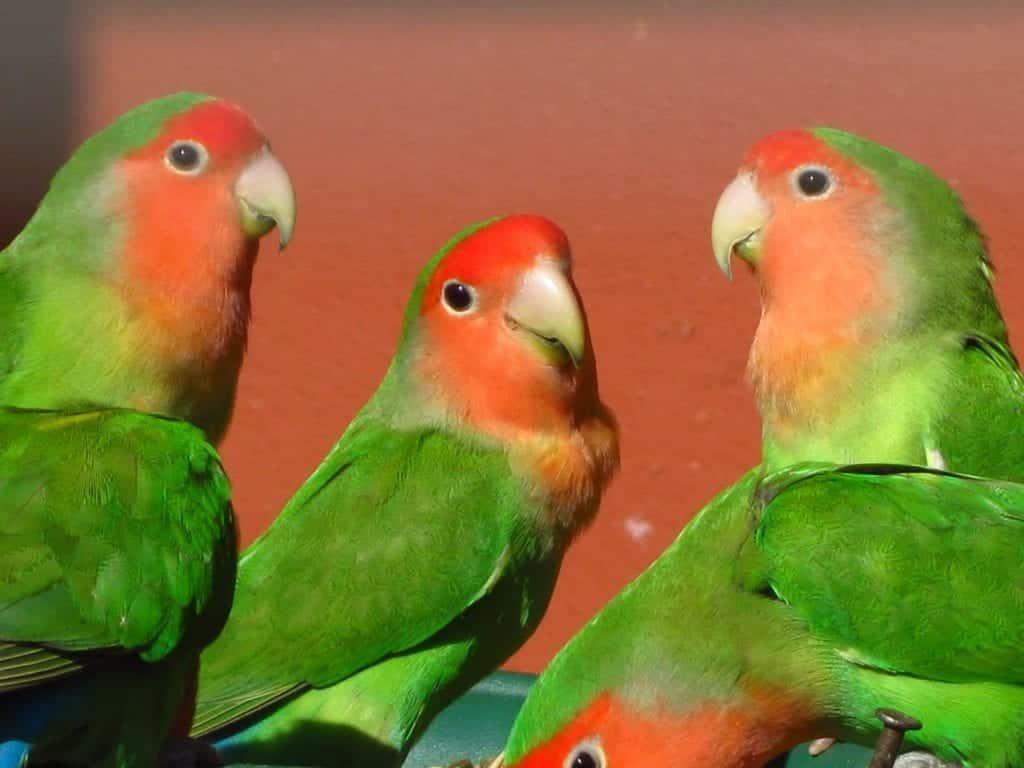 Como criar Agapornis – Origem, espécies e curiosidades sobre a ave