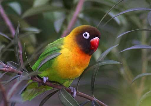 Agapornis - Conheça essa ave ideal para criar em sua casa