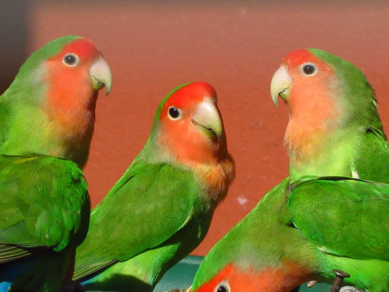 Agapornis - Origem, espécies e como criar a ave adequadamente