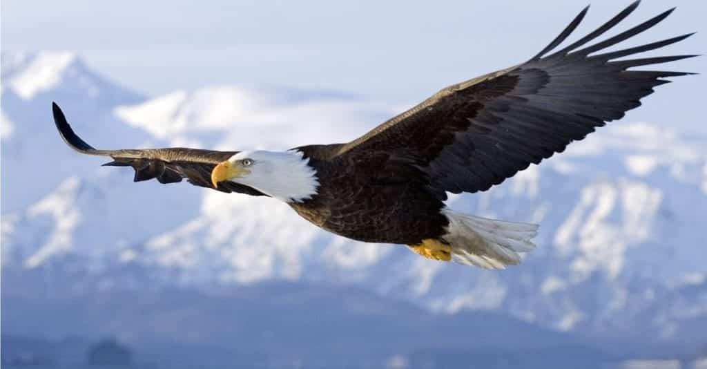 Águias – 10 espécies mais famosas do mundo e 5 brasileiras