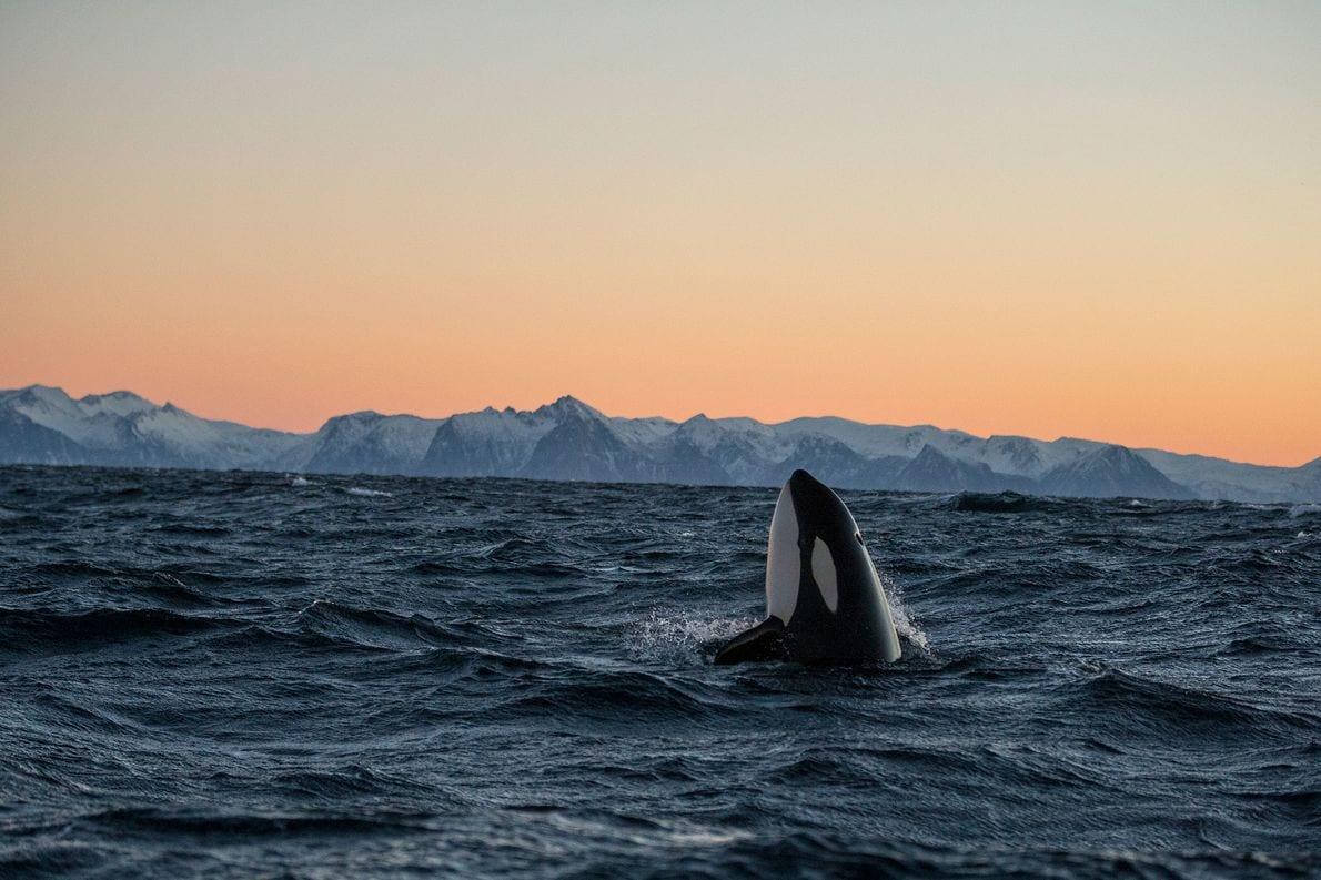 Baleia orca - características, como vivem e curiosidades