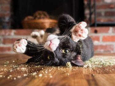 Catnip: você já ouviu falar dessa erva para gatos?