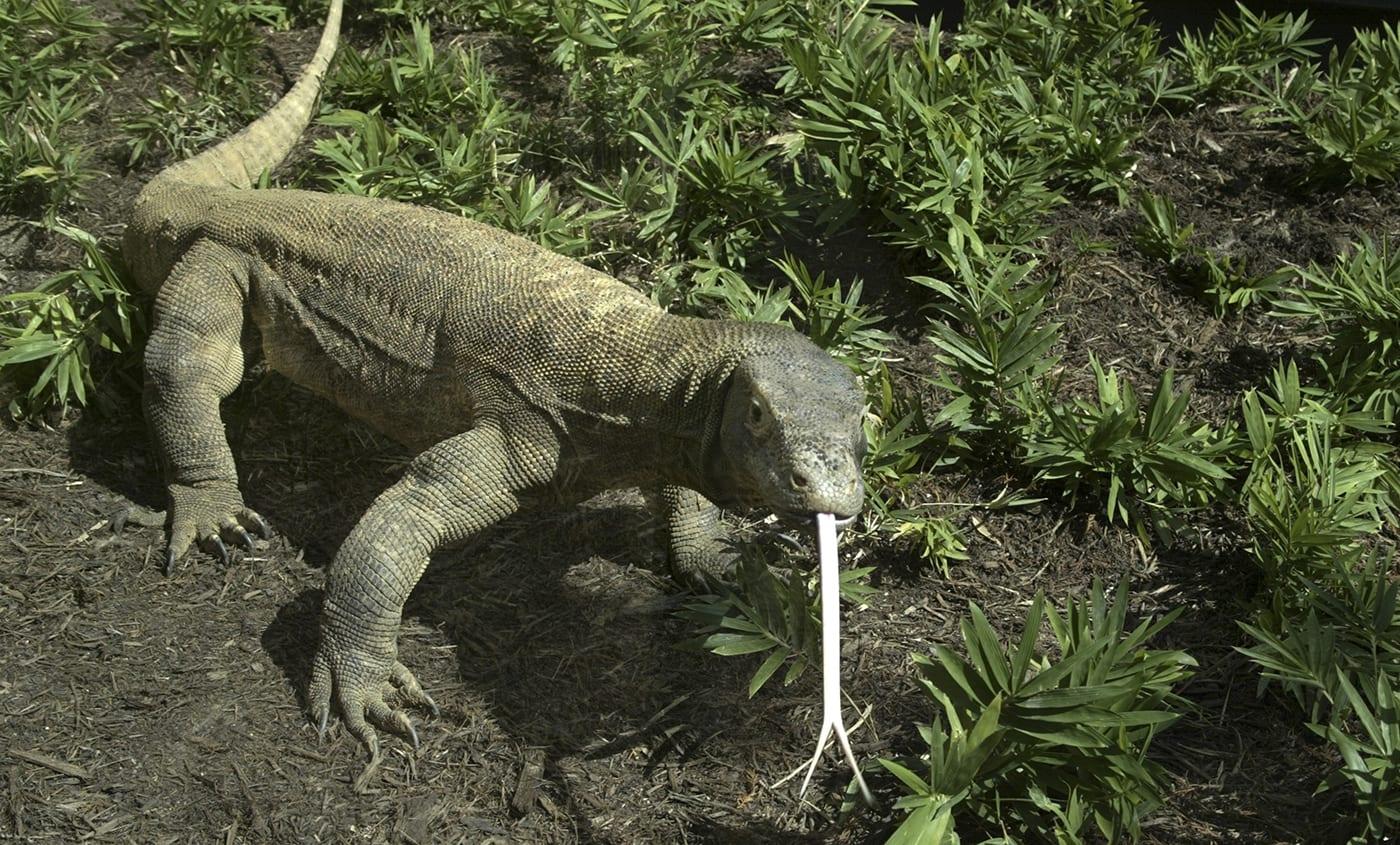 Dragão de Komodo - curiosidades sobre o maior lagarto do mundo