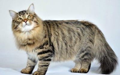 Gato Siberiano - Características e cuidados básicos para a raça