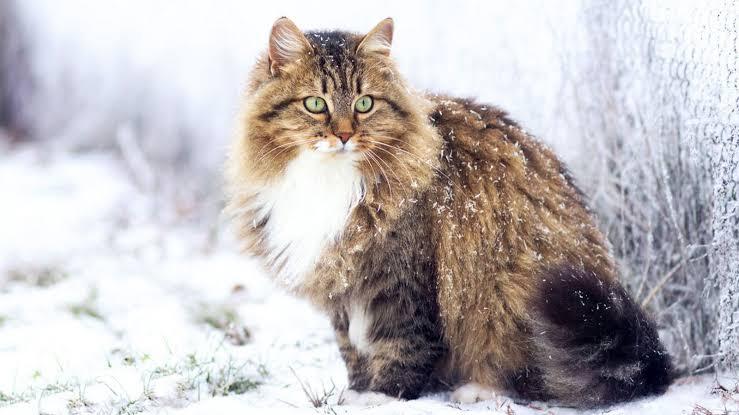 Gato Siberiano – Origem, características e cuidados básicos
