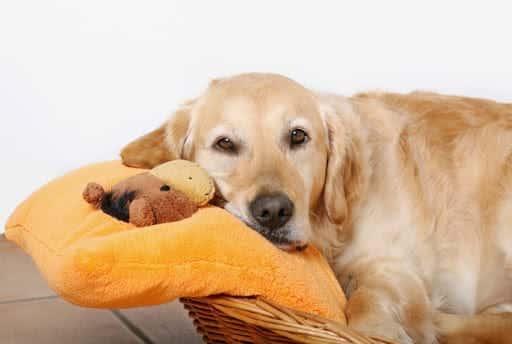 Gestação de cachorra - Saiba como descobrir e quanto tempo dura