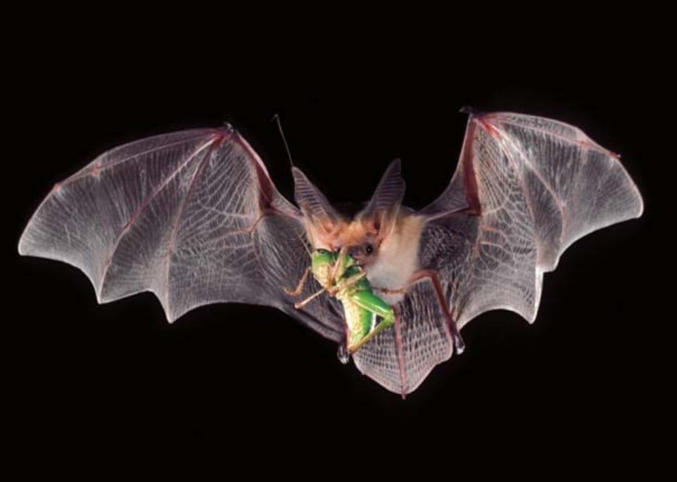 Morcego - quais os hábitos e o que tem a ver com a transmissão de doenças