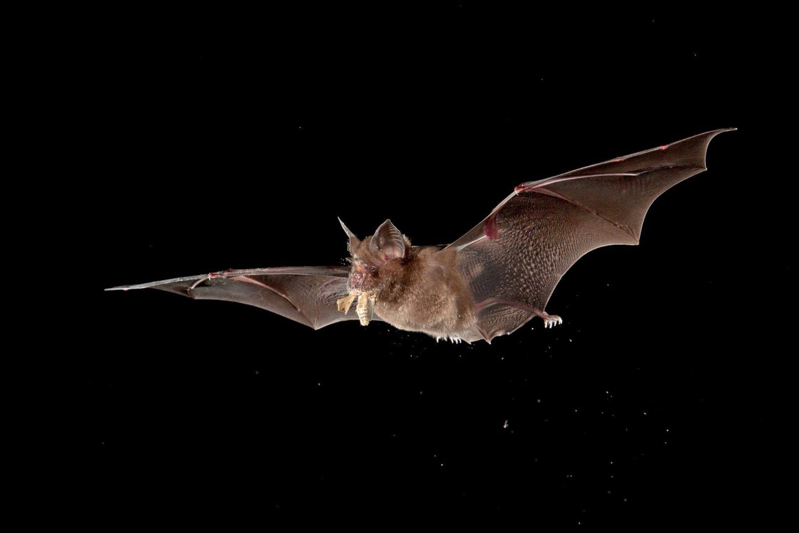 Morcego - Importância, hábitos, curiosidades e transmissão de doenças