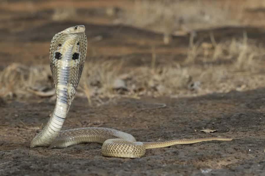 Naja - como vivem e principais características da espécie de cobra