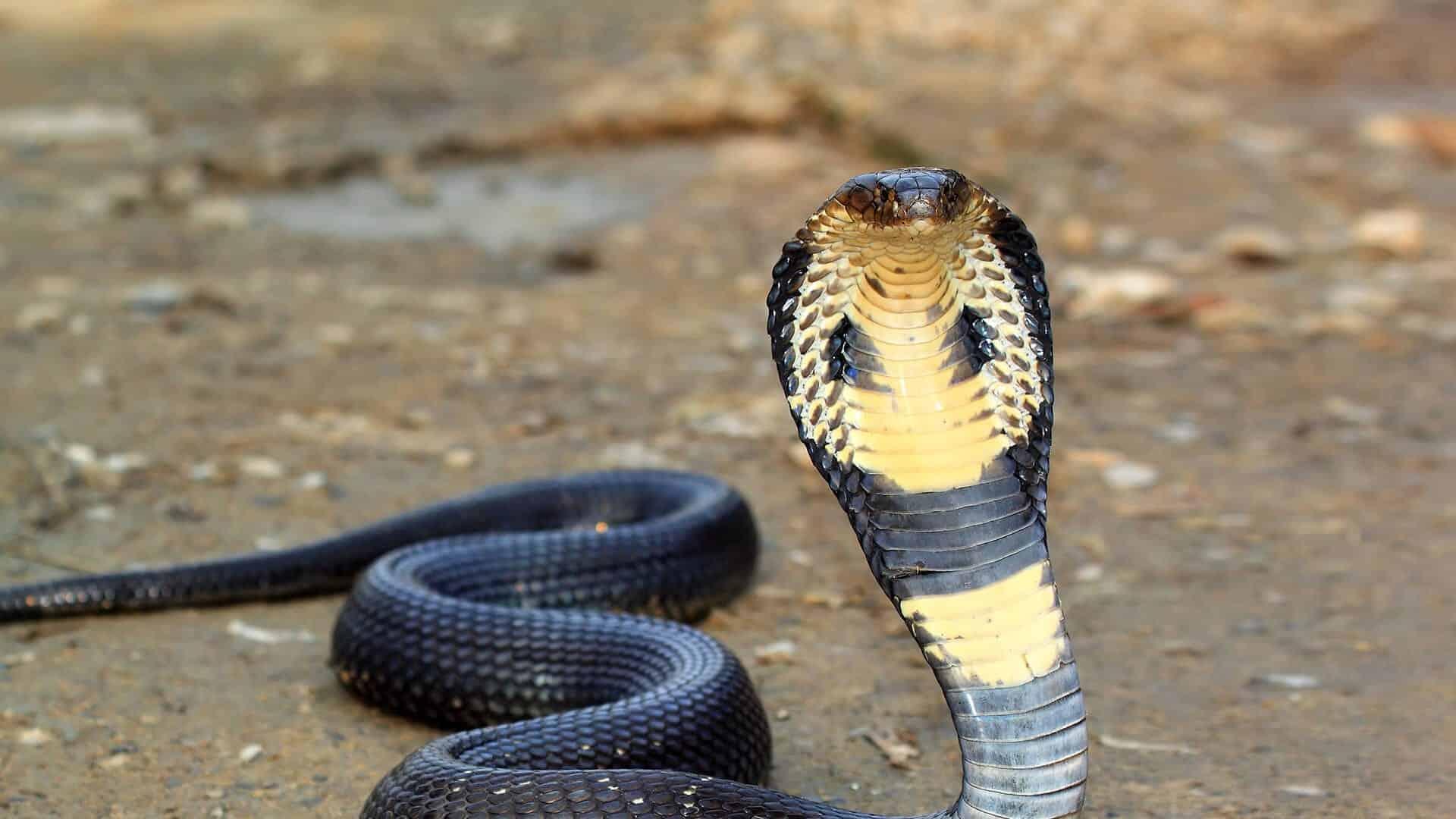 Naja - O que é, como vive e as características desse tipo de cobra
