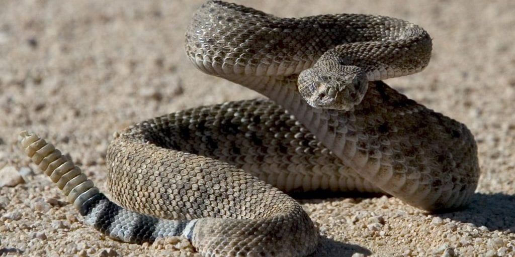 Cobra cascavel – O que é, características, alimentação e veneno