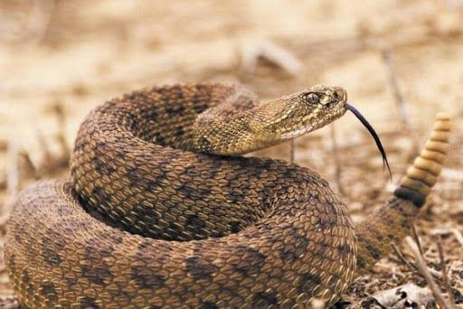 Cobra cascavel - como vive uma das cobras mais venenosas do mundo