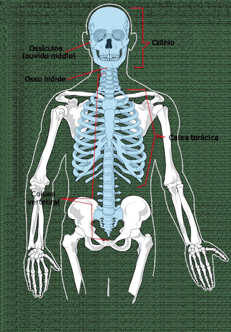 Conheça o maior e o menor osso do corpo humano e suas importâncias