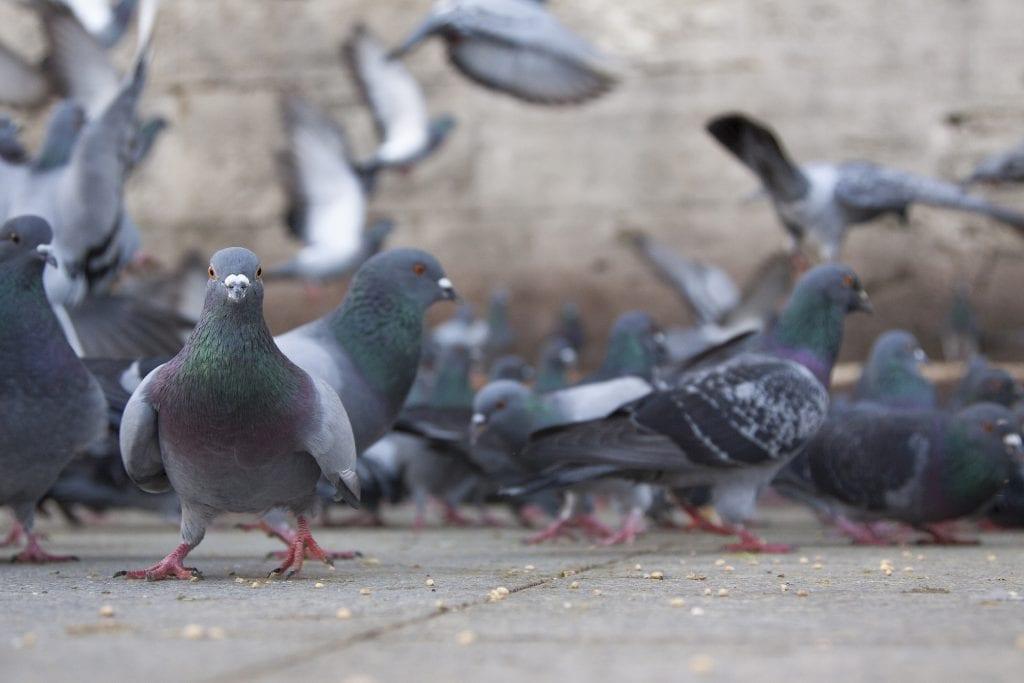 Pombo: características, curiosidades das espécies e riscos à saúde