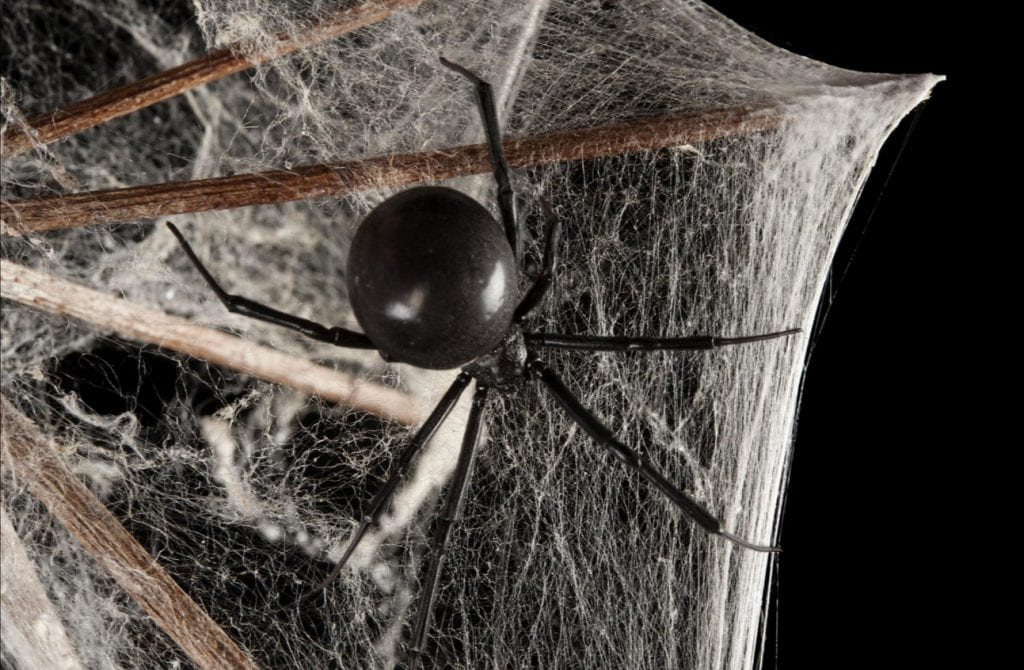 Aranha viúva negra – Características, importância e efeitos da picada