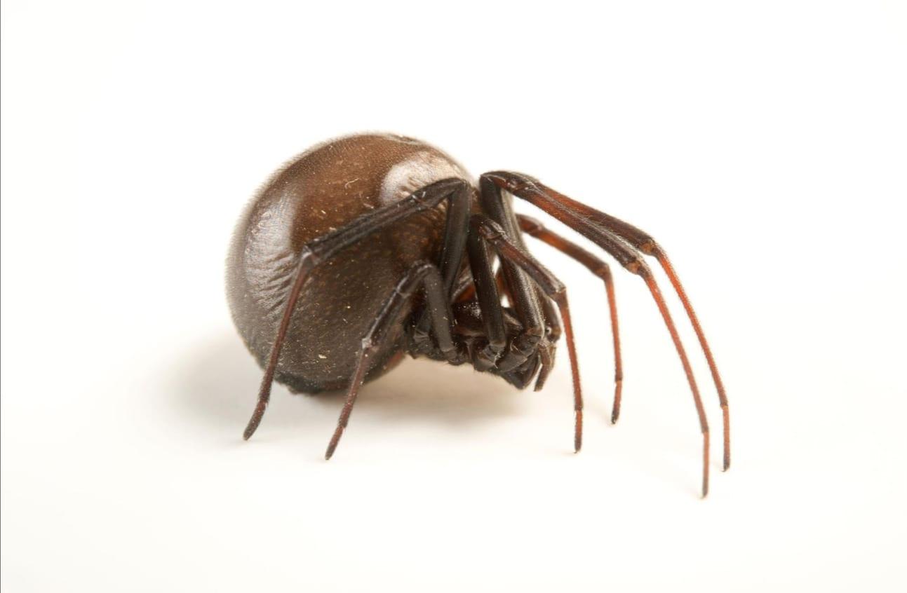 Aranha viúva negra - características, importância e efeitos da picada