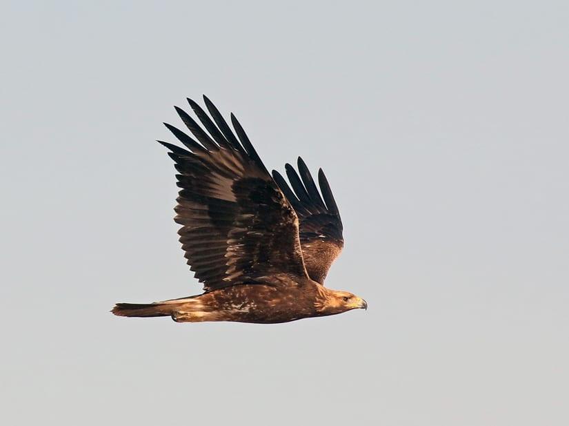 Aves de rapina - grupos, características e habilidades de caça