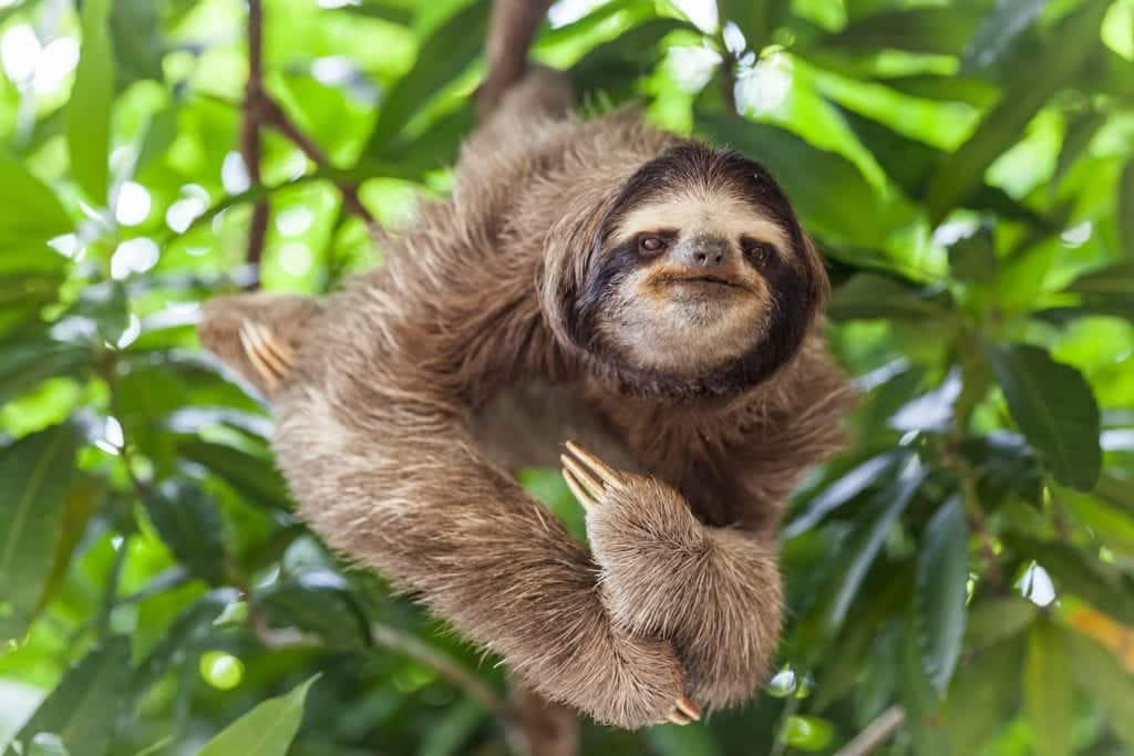 Bicho-preguiça – Características da espécie e curiosidades