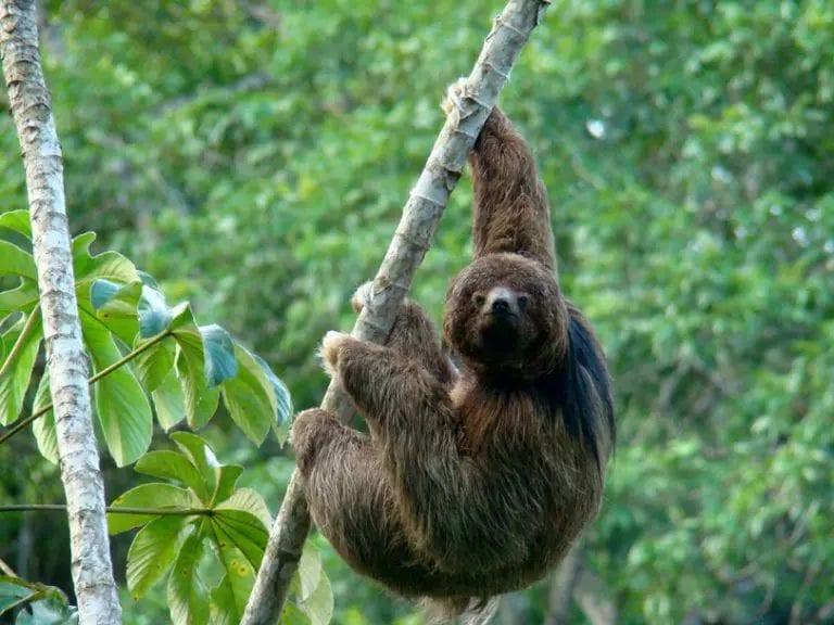 Bicho-preguiça - características das espécies e curiosidades