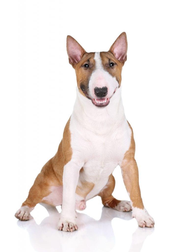 Bull Terrier – Origem da raça, características e curiosidades