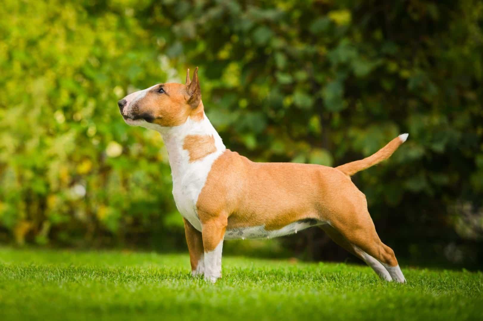 Bull Terrier - Raça, características e curiosidades