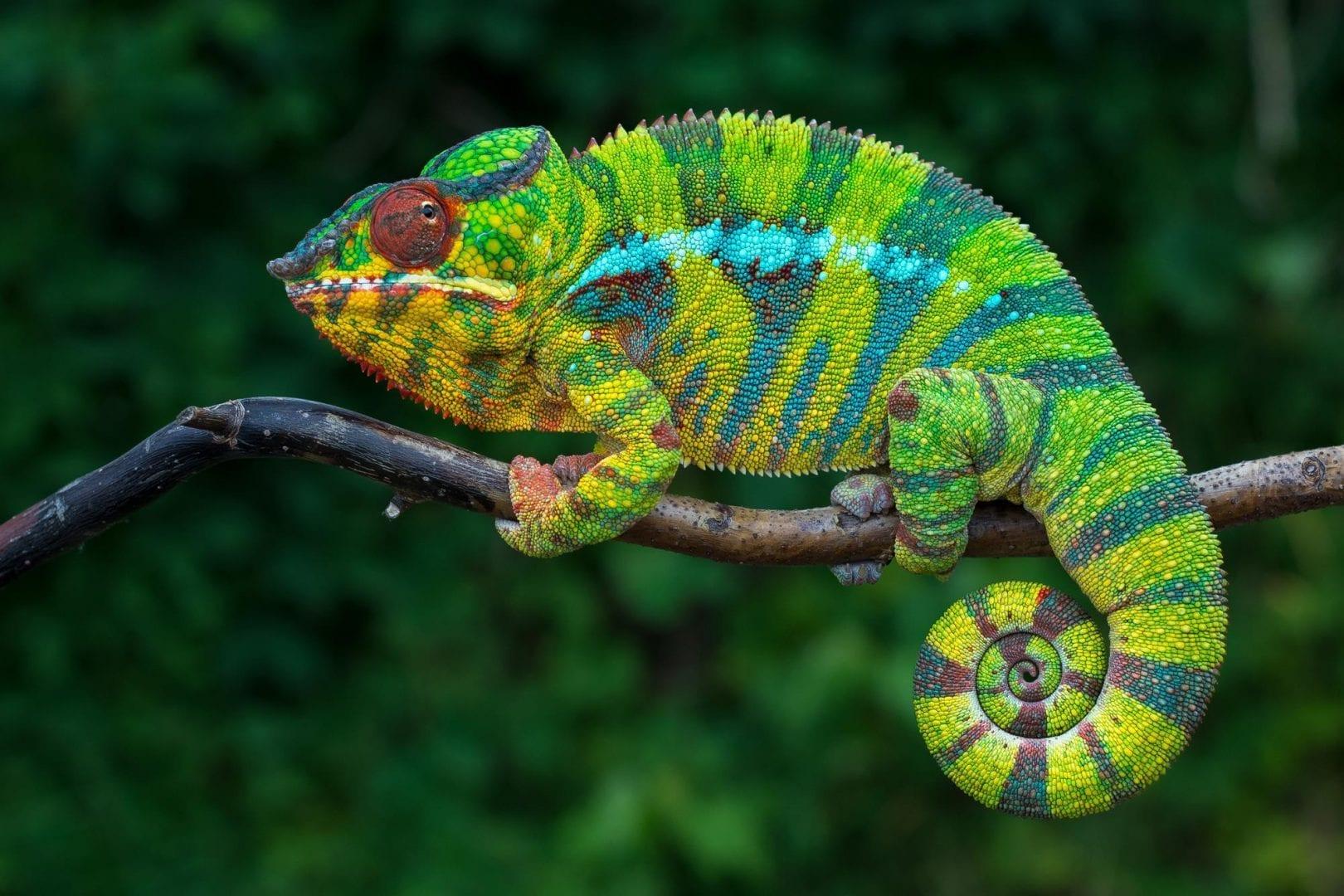 Camaleão - como muda de cor e outras curiosidades sobre as espécies