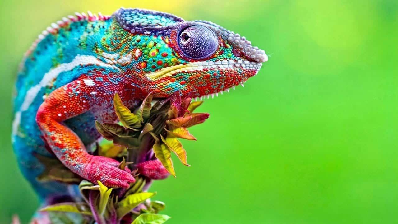 Camaleão - Características, como muda de cor e curiosidades