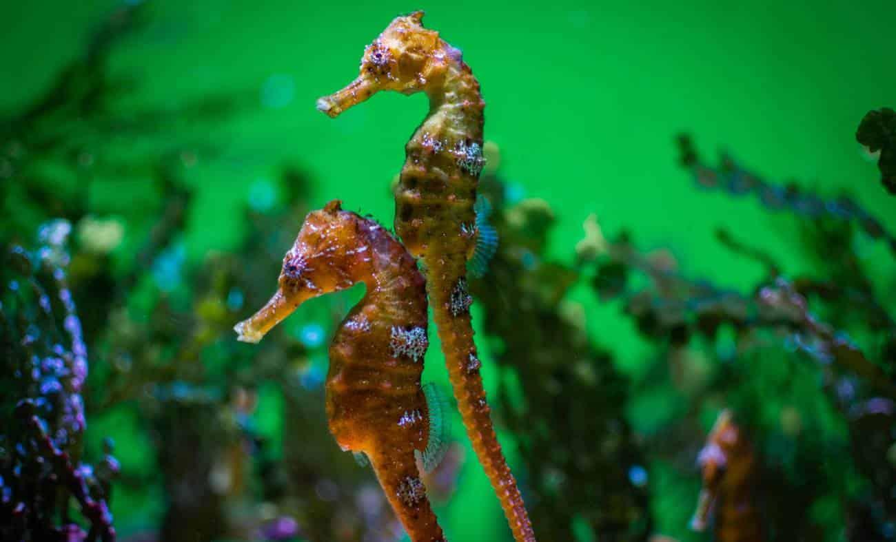 Cavalo marinho - características, habitat, reprodução e curiosidades