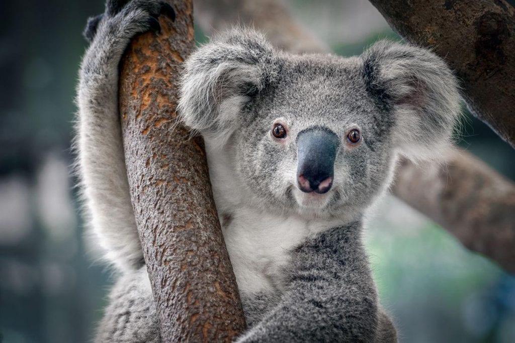 Coala – Características, alimentação e curiosidades do animal