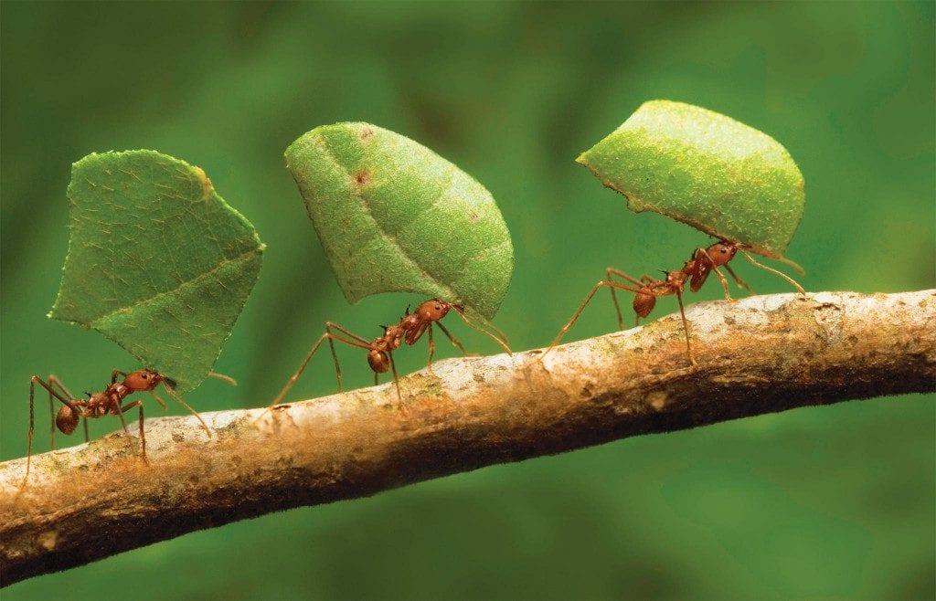 Formigas – Características, organização e curiosidades