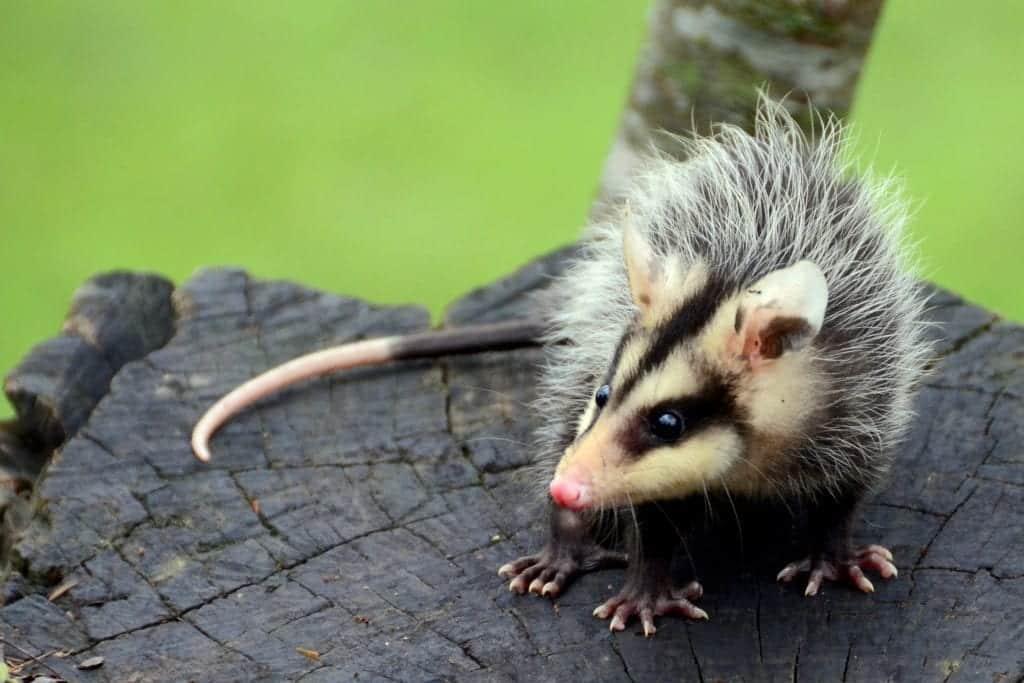 Gambá: Principais características do animal que usa o fedor como defesa