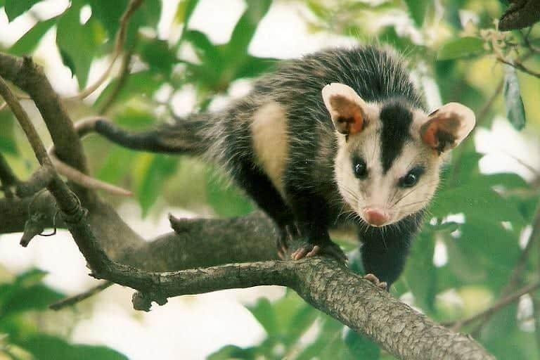 Gambá - o famoso animal que é conhecido por ser fedido