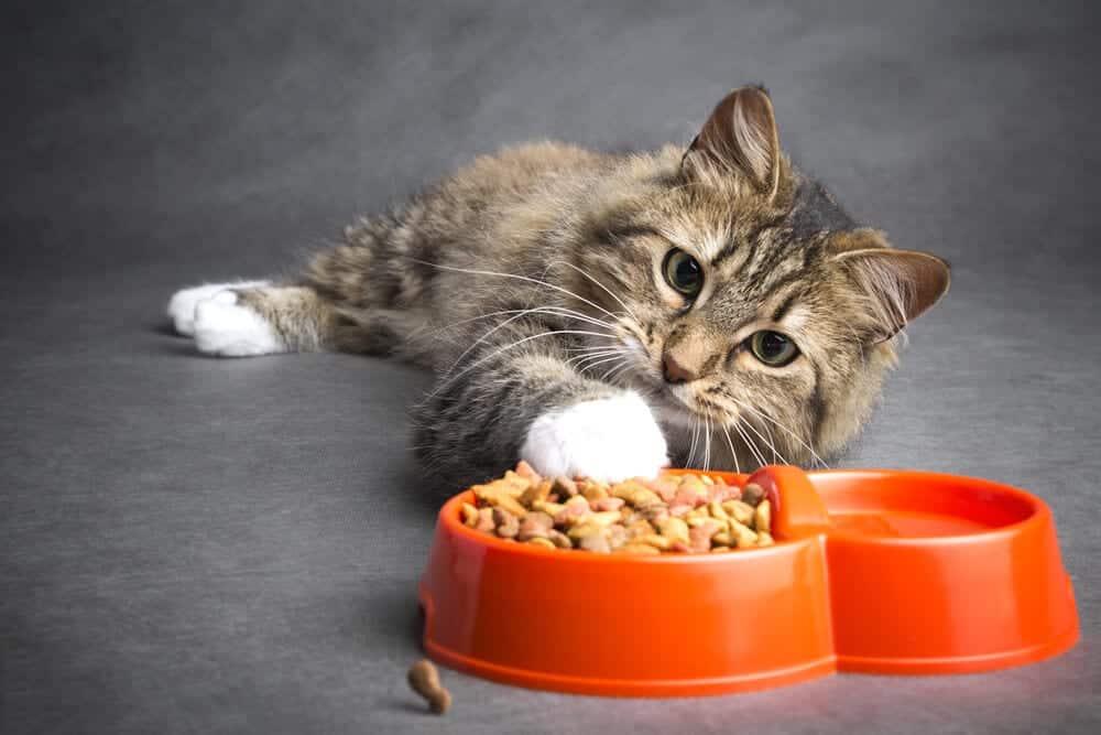 Gatos - Comportamento, formas de se comunicar e curiosidades