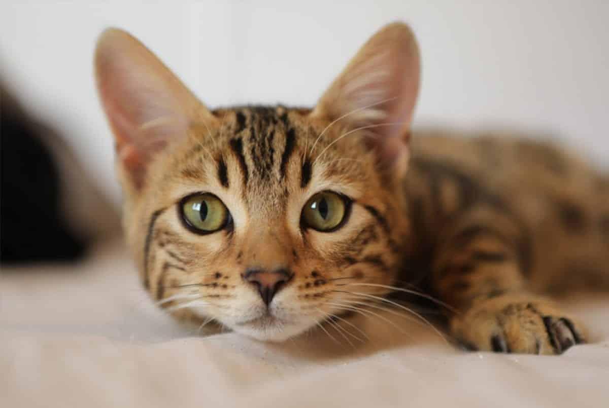Gatos - Comportamento, comunicação e curiosidades