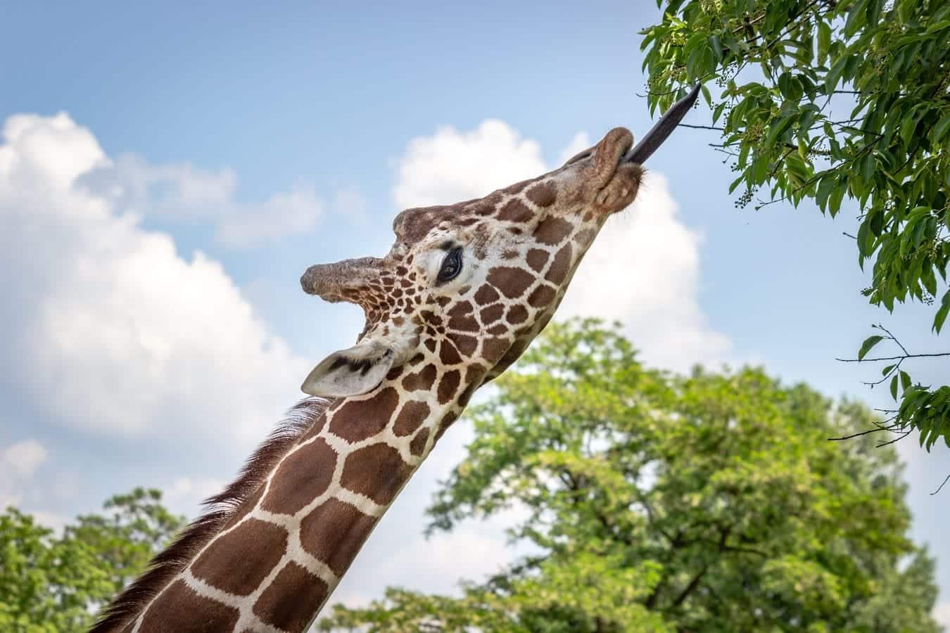 Girafa - características e comportamento da espécie