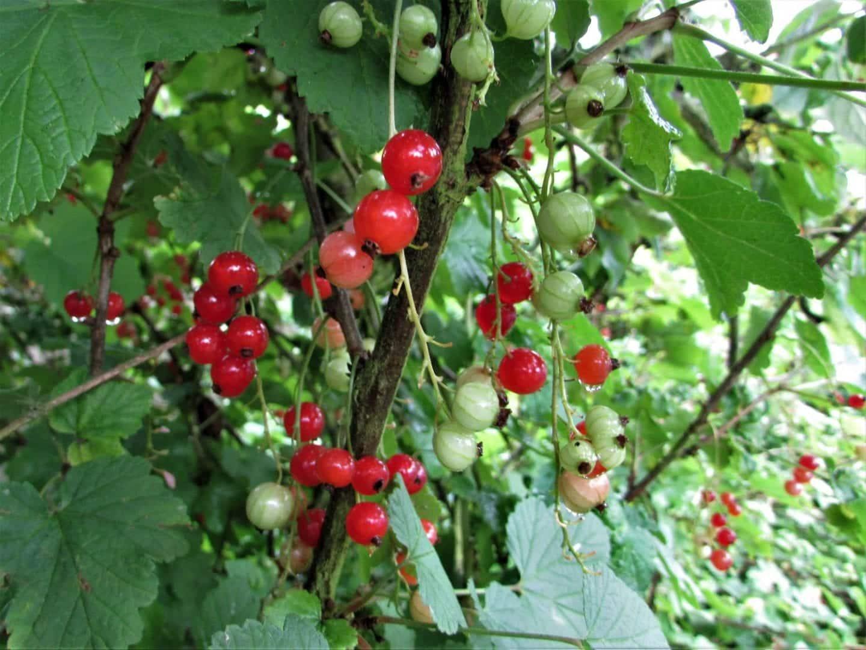 Groselha - origem da fruta e benefícios que oferece à saúde