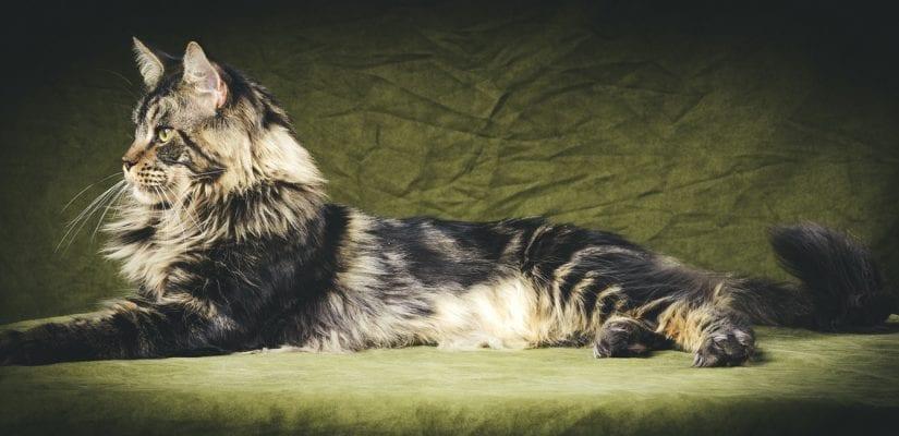 Maine Coon - características e curiosidades sobre a raça de gato gigante