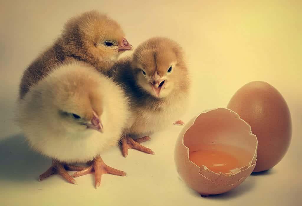 Quem nasceu primeiro o ovo ou a galinha? – A resposta definitiva