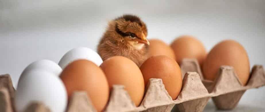 Quem nasceu primeiro, o ovo ou a galinha? - enfim, a resposta definitiva