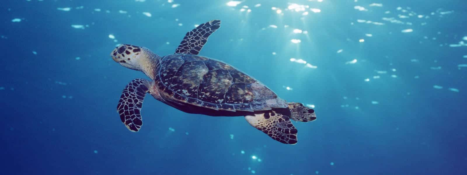 Tartarugas marinhas - características típicas das espécies