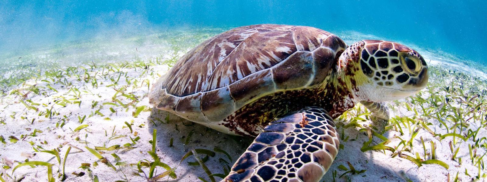 Tartarugas marinhas - Famílias, características, reprodução e tipos