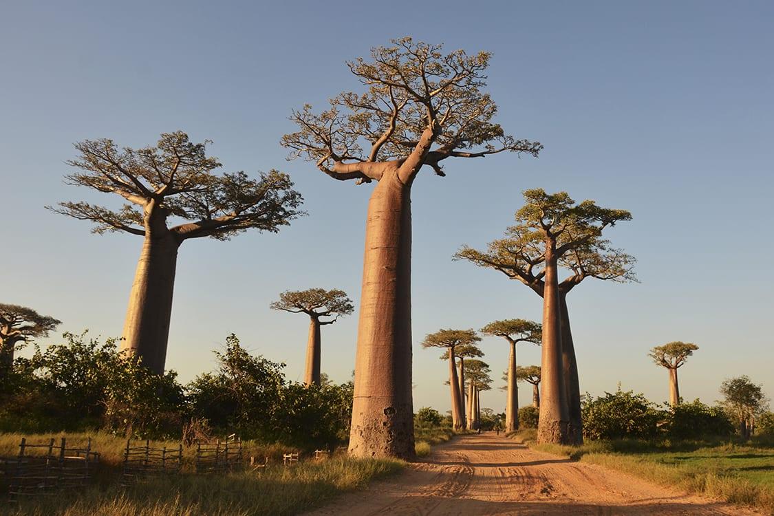 Baobá, o que é? Origem da árvore, propriedades e onde encontrar