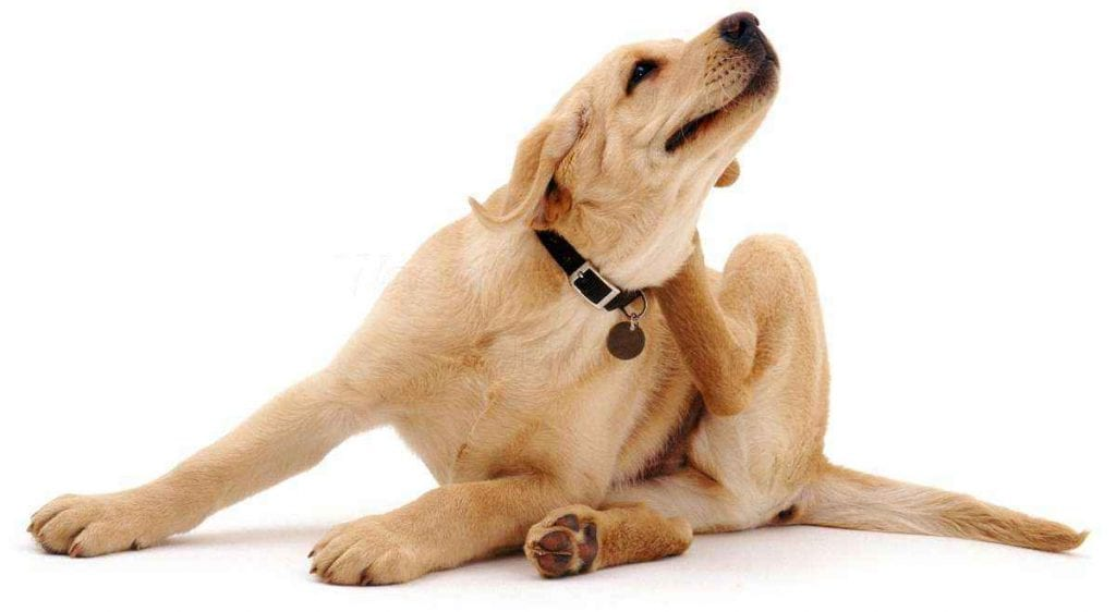 Pulgas – Como identificar no animal, prevenção e tratamento