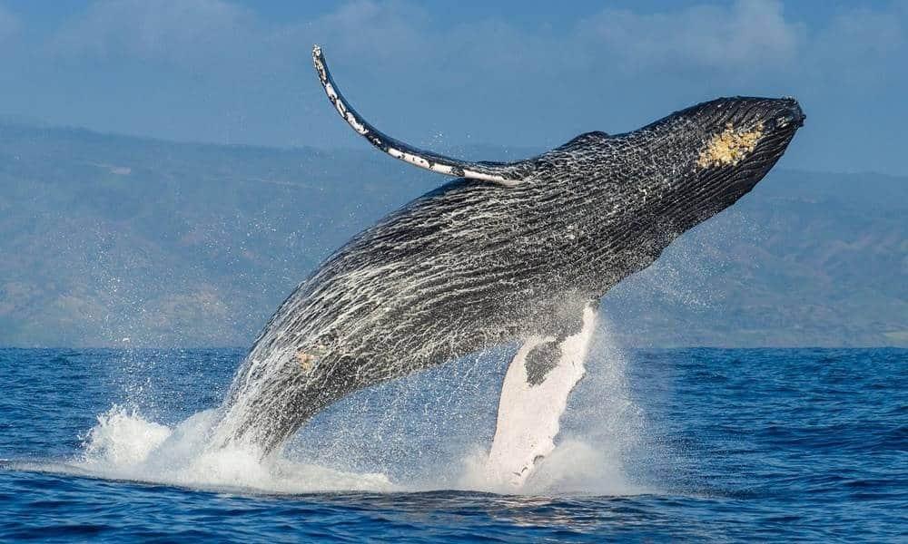 Baleias – Características e principais espécies ao redor do mundo