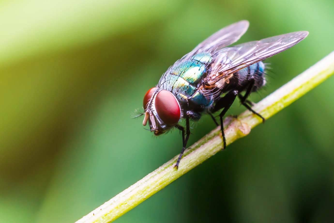 Como espantar moscas - 9 métodos caseiros para se livrar desses insetos