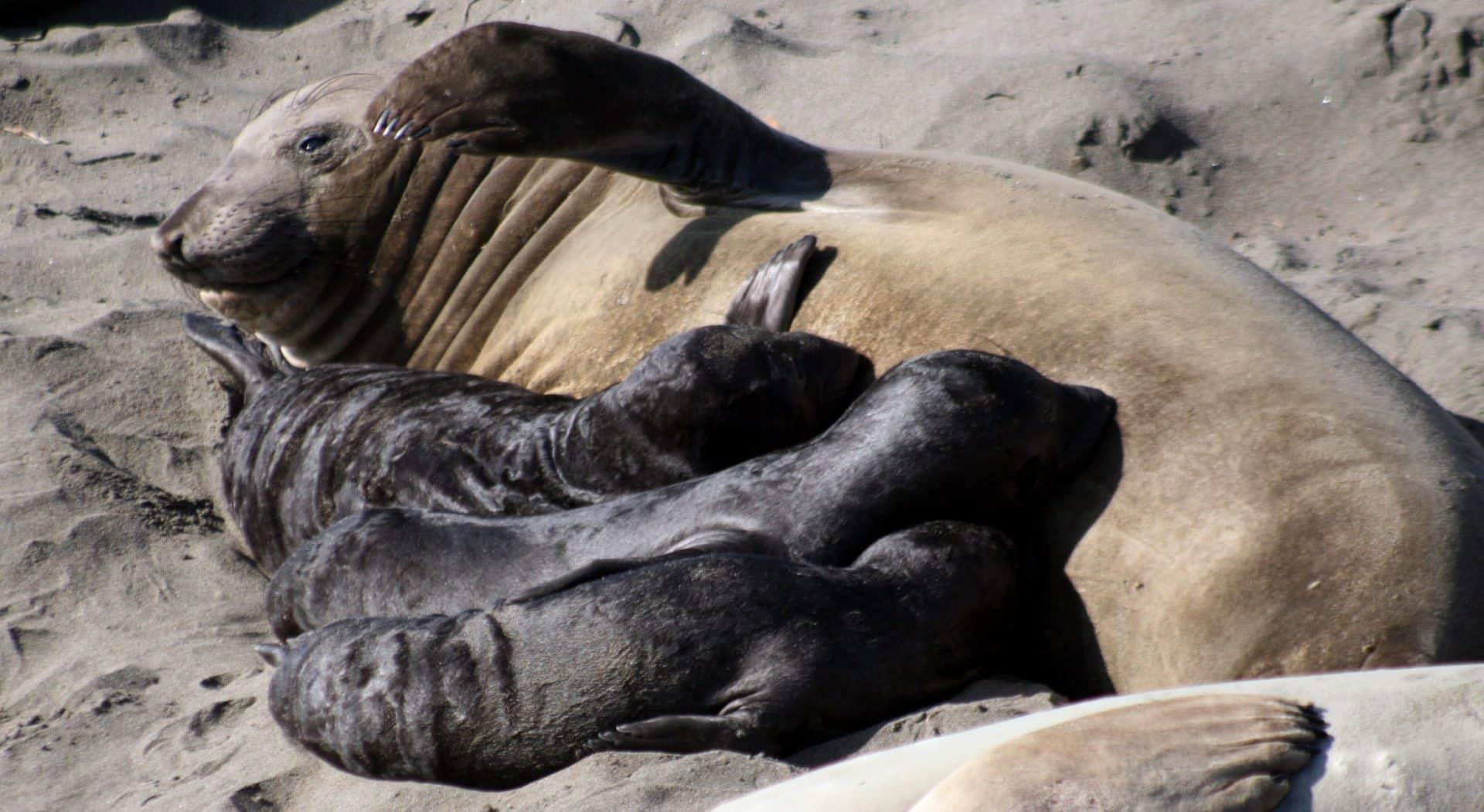 Elefantes-marinhos - Características, origem do nome e reprodução