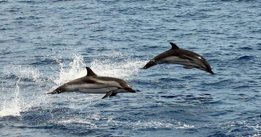 Golfinhos - como vivem, do que se alimentam e principais hábitos