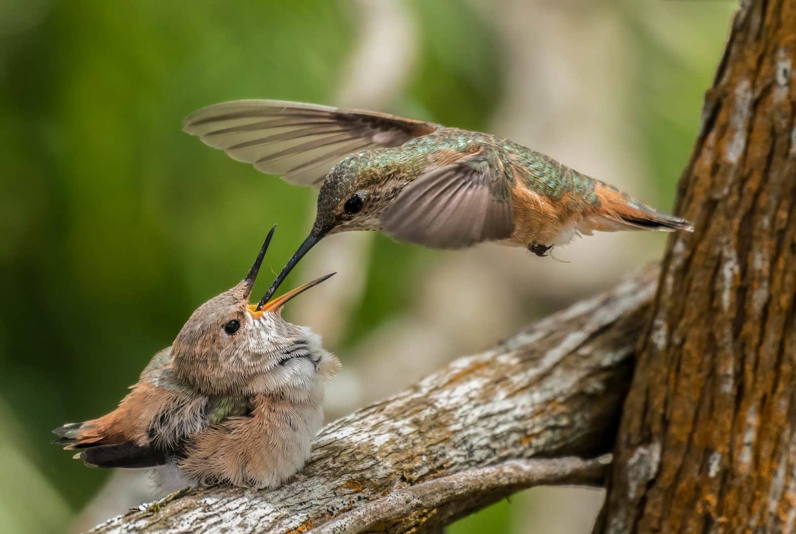 Beija-flor - características e curiosidades sobre o menor pássaro do mundo