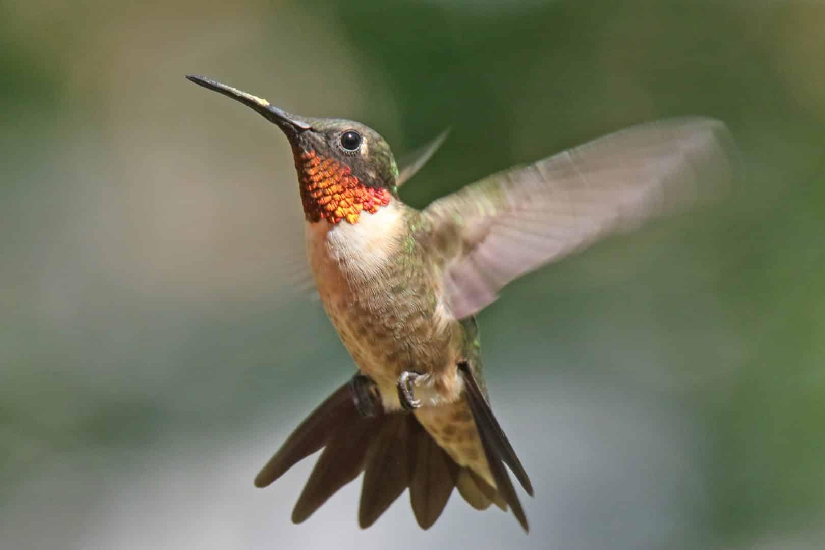 Beija-flor - Características e fatos sobre o menor pássaro do mundo